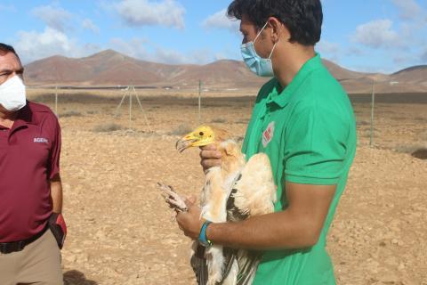 Guirre liberado en Fuerteventura / CanariasNoticias.es