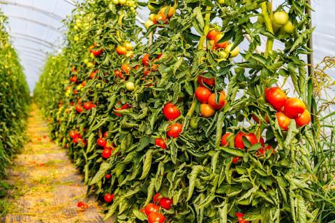 Cultivo de tomates en Canarias / CanariasNoticias.es