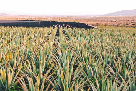 Cultivos de aloe vera en Fuerteventura / CanariasNoticias.es
