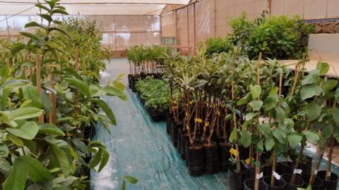 Campaña de Árboles frutales. Cabildo de Lanzarote/ canariasnoticias