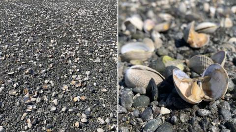 Cientos de almejas se cuezan en una playa por la ola de calor