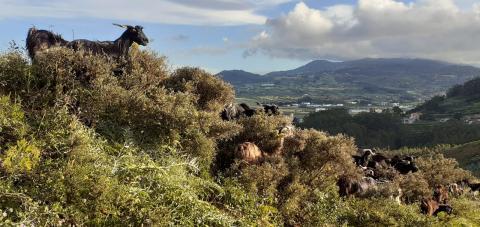 Espacio de pastoreo en La Laguna (Tenerife) / CanariasNoticias.es