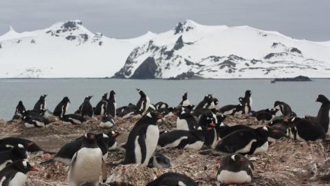 Una colonia de pingüino papúa en el sur de la Antártida