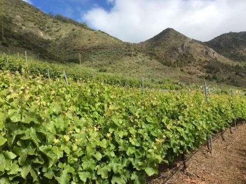 Canary Wine/ canariasnoticias