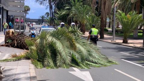 Caída de palmera en Las Palmas de Gran Canaria