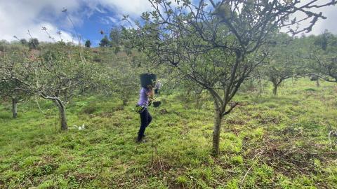 Recogida de manzanas en Valleseco / CanariasNoticias.es